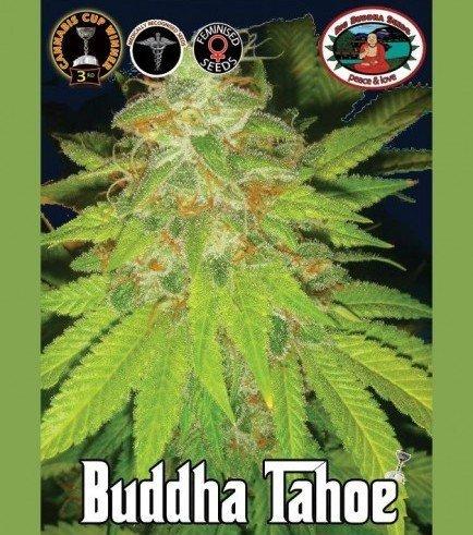 Buddha Tahoe (Big Buddha Seeds)