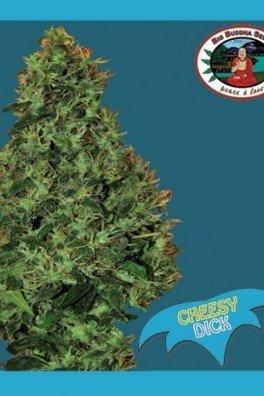 Cheesy Dick (Big Buddha Seeds)