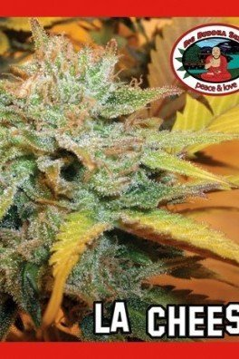 L.A. Cheese (Big Buddha Seeds)
