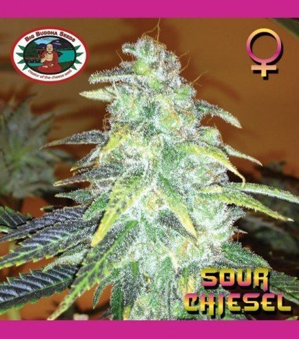 Sour Chiesel (Big Buddha Seeds)