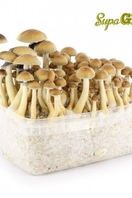 Magic Mushroom Grow Kit 'B+'