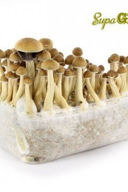 Magic Mushroom Grow Kit 'Ecuador'