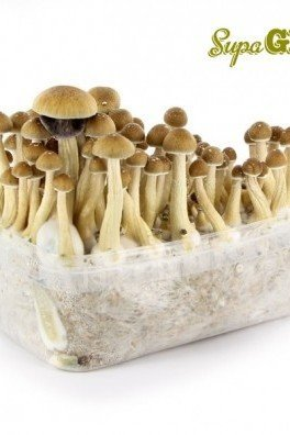 Magic Mushroom Grow Kit 'McKennaii'