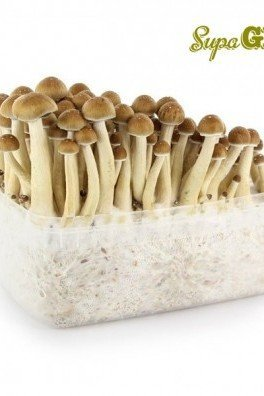 Magic Mushroom Grow Kit Cubensis 'Golden Teacher'