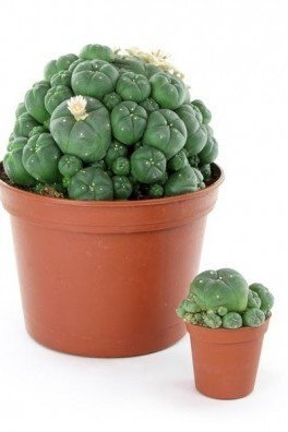 Peyote with Pups