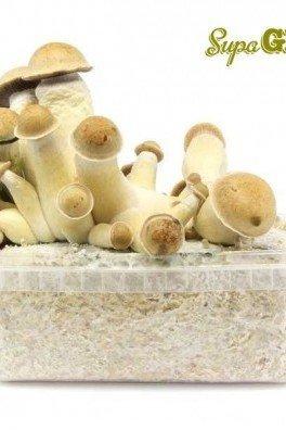Magic Mushroom Grow Kit Penis Envy