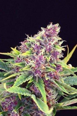 Purple Kush (Kannabia)