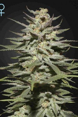 Super Lemon Haze CBD (Greenhouse Seeds)