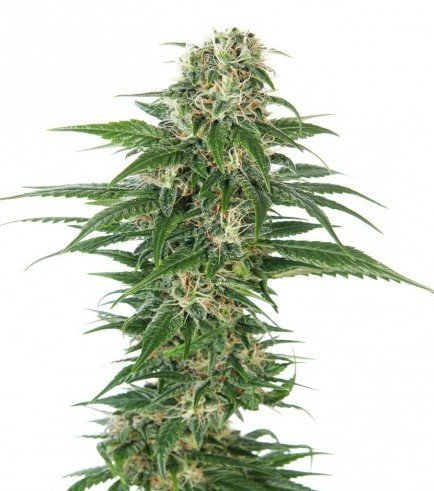 Early Skunk Automatic (Sensi Seeds)
