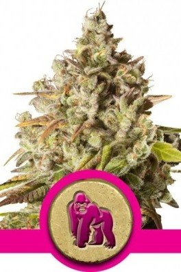 Royal Gorilla (Royal Queen Seeds)