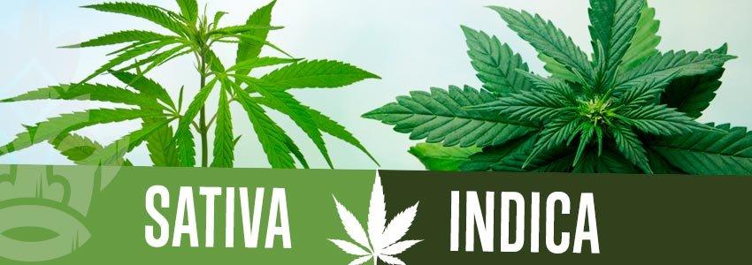 Αποτέλεσμα εικόνας για cannabis sativa indica