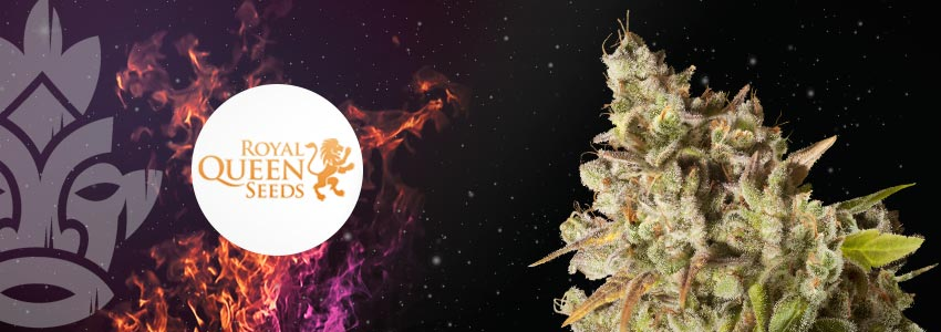 ROYAL GORILLA—27% THC