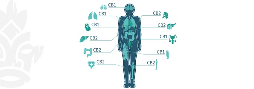 Which Cannabinoids Do Get You High?