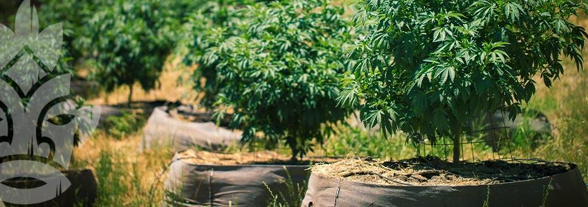 Grow Cannabis on a Budget - Grow Organically