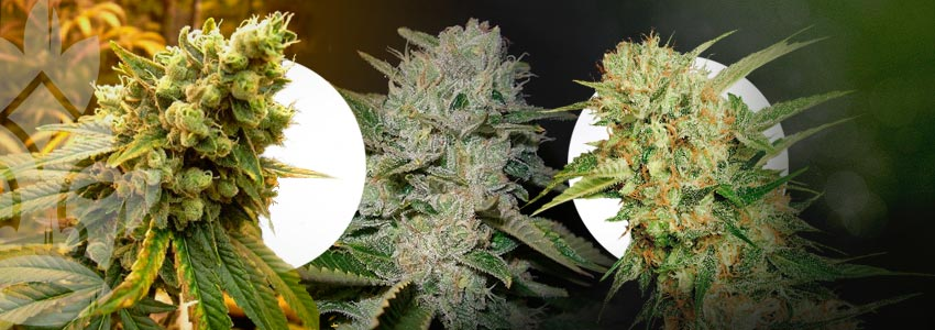 What Are The Best Strains To Scrog?