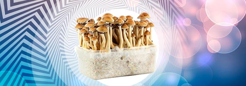 Ghost Company] B+ mushroom dosage