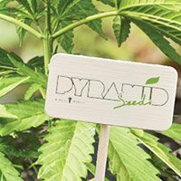 All cannabis seeds from Pyramid Seeds
