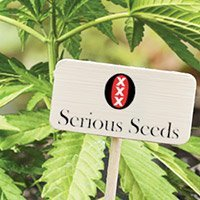 All cannabis seeds from Serious Seeds