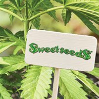 All cannabis seeds from Sweet Seeds
