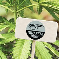 All cannabis seeds from Dinafem