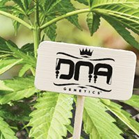 All cannabis seeds from DNA Genetics