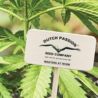 All cannabis seeds from Dutch Passion