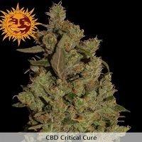CBD Critical Cure (Barney's Farm)