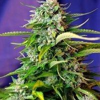 Jack 47 Auto (Sweet Seeds)