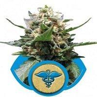 Royal Medic (Royal Queen Seeds)