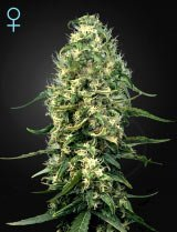 Super Silver Haze CBD (Greenhouse Seeds)