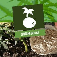 Growing Cannabis In Coco