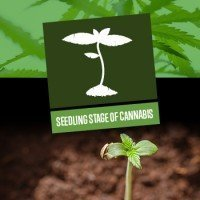 Seedling Stage of Cannabis