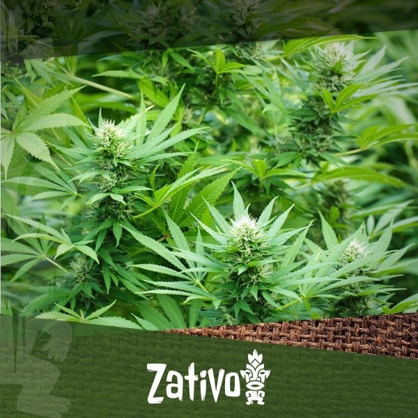 Zativo - How to Grow with the Sea of Green Technique (SOG)