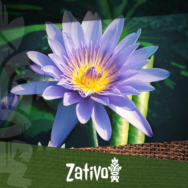 Zativo Blue Lotus What It Is And How To Consume It