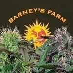 2 New Strains by Barney's Farm: Bad Azz Kush and Ayahuasca Purple