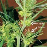 What is a hermaphrodite cannabis plant?
