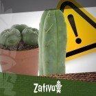Mescaline Cacti - A Warning