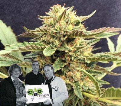 New strain release by CBD Crew: CBD Therapy