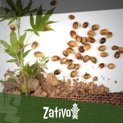 7 Advantages of cannabis seeds over clones