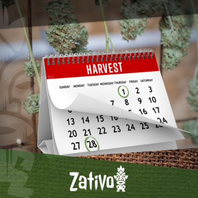 How To Harvest Cannabis 6-7 Times A Year