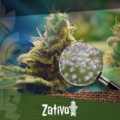 The Best Methods To Increase Trichome Production