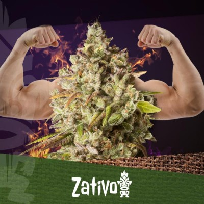 The Top 10 Strongest THC-Rich Cannabis Strains